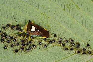 Shield Bug (Sastragala esakii) parent and young, Tokyo, Japan