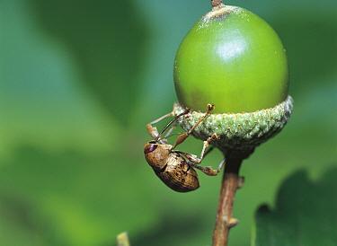 Weevil (Curculio dentipes) on acorn, Japan