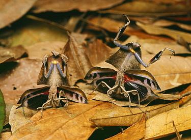Brown Leaf Mantis (Deroplatys truncata) pair in defensive posture, Malaysia