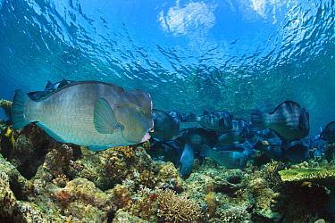 Bumphead Parrotfish (Bolbometopon muricatum) school, Sipadan Island, Malaysia
