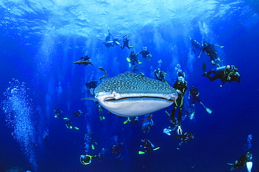 Whale Shark (Rhincodon typus) being followed by crowd of divers, Ko Tao, Thailand