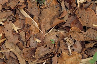 Japanese Tree Frog (Hyla japonica) camouflaged in leaf litter, Japan