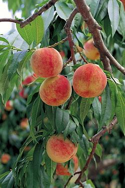 Peach (Prunus persica) fruit, Japan