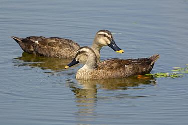 Spot-billed Duck (Anas poecilorhyncha) pair, Lake Hyo, Japan
