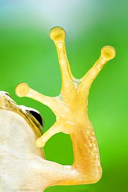 Japanese Tree Frog (Hyla japonica) foot, Japan
