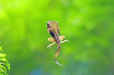 Japanese Tree Frog (Hyla japonica) tadpole with rear legs, Japan