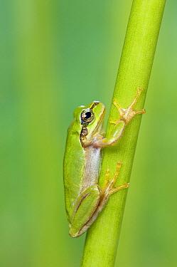 Japanese Tree Frog (Hyla japonica), Japan