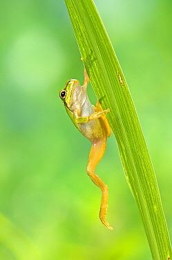 Japanese Tree Frog (Hyla japonica) climbing, Japan