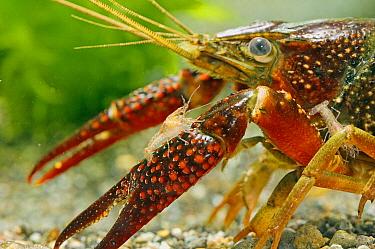 Louisiana Crayfish (Procambarus clarkii) female with young, Japan