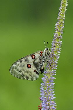 Apollo Butterfly (Parnassius nomion), Primorsky Krai, Russia