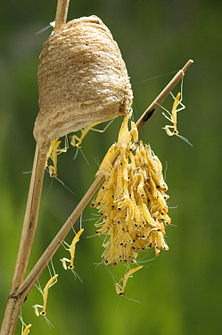 Chinese Mantis (Tenodera aridifolia) young emerging from ootheca, Nagano, Japan
