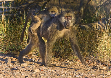 Chacma Baboon (Papio ursinus) mother carrying young, Kruger National Park, South Africa