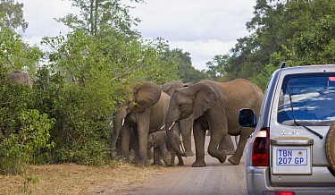 African Elephant (Loxodonta africana) herd on road with safari vehicle, Kruger National Park, South Africa