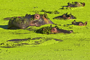 Hippopotamus (Hippopotamus amphibius) male and sub-adults in waterhole covered by aquatic vegatation, Kruger National Park, South Africa