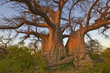 Baobab (Adansonia sp) trees, Kubu Island, Makgadikgadi National Park, Botswana