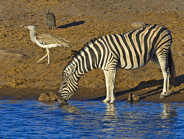 Zebra (Equus quagga) drinking at waterhole in dry season with Kori Bustard (Ardeotis kori), Etosha National Park, Namibia