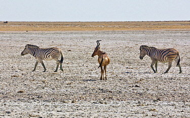 Zebra (Equus quagga)pair  and Red Hartebeest (Alcelaphus caama) in salt pan, Etosha Pan, Etosha National Park, Namibia
