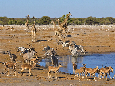 Angolan Giraffe (Giraffa giraffa angolensis) group, Impalas (Aepyceros melampus), Zebras (Equus quagga), Greater Kudus (Tragelaphus strepsiceros) running from waterhole in dry season, Etosha National...