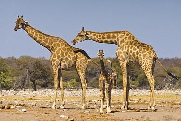 Angolan Giraffe (Giraffa giraffa angolensis) mother and calf, with male flehming to see if female is in estrus, Etosha National Park, Namibia