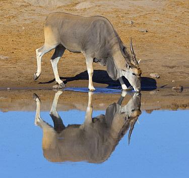 Eland (Taurotragus oryx) drinking at waterhole in dry season, Etosha National Park, Namibia