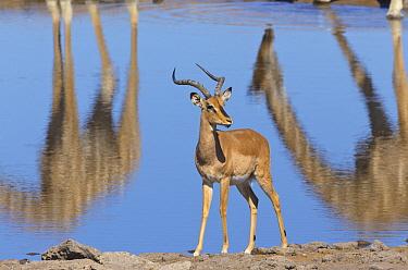 Angolan Giraffe (Giraffa giraffa angolensis) reflections and Impala (Aepyceros melampus) male at waterhole in dry season, Etosha National Park, Namibia