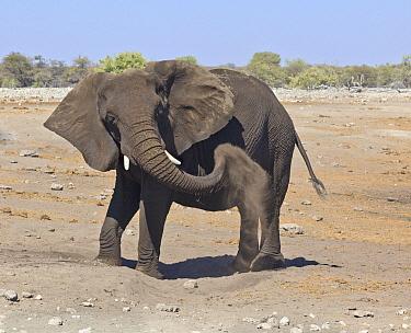 African Elephant (Loxodonta africana) sub-adult dust bathing, Etosha National Park, Namibia