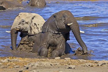African Elephant (Loxodonta africana) sub-adults mud bathing, Etosha National Park, Namibia