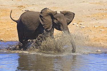 African Elephant (Loxodonta africana) calf playing in waterhole in dry season, Etosha National Park, Namibia
