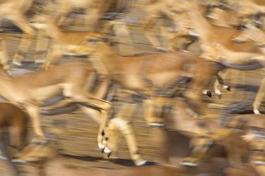 Impala (Aepyceros melampus) herd running, Etosha National Park, Namibia