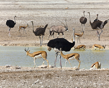 Ostrich (Struthio camelus) group, Springbok (Antidorcas marsupialis) herd, and Oryx (Oryx gazella) at waterhole in dry season, Etosha National Park, Namibia