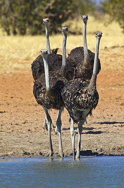Ostrich (Struthio camelus) sub-adults at waterhole in dry season, Etosha National Park, Namibia