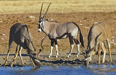 Greater Kudu (Tragelaphus strepsiceros) males drinking at waterhole in dry season with Oryx (Oryx gazella) male, Etosha National Park, Namibia