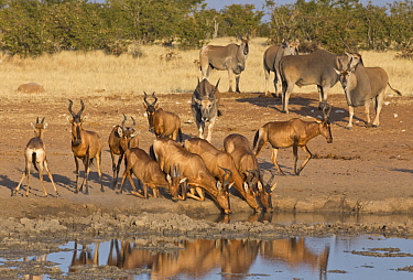 Red Hartebeest (Alcelaphus caama) herd drinking at waterhole in dry season with Common Eland (Tragelaphus oryx) group approaching, Etosha National Park, Namibia