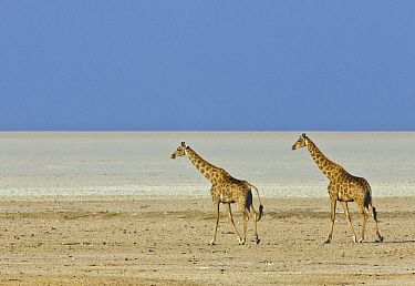 Angolan Giraffe (Giraffa giraffa angolensis) pair in salt pan, Etosha Pan, Etosha National Park, Namibia