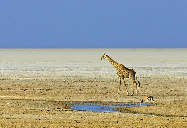 Angolan Giraffe (Giraffa giraffa angolensis) in salt pan, Etosha Pan, Etosha National Park, Namibia
