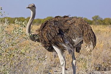 Ostrich (Struthio camelus) female, Etosha National Park, Namibia