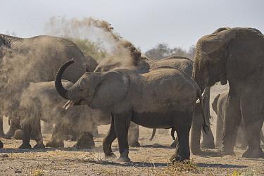 African Elephant (Loxodonta africana) juvenile dust bathing, Etosha National Park, Namibia