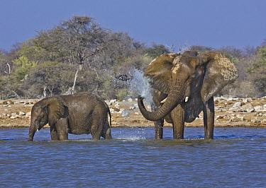 African Elephant (Loxodonta africana) calf near female spraying water to cool off, Etosha National Park, Namibia