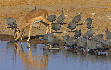 Impala (Aepyceros melampus) male and Helmeted Guineafowl (Numida meleagris) flock at waterhole in dry season, Etosha National Park, Namibia