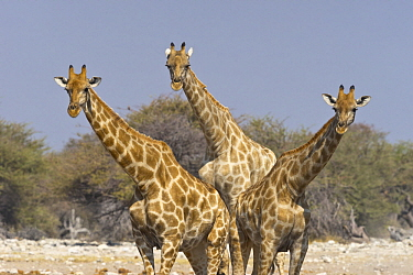 Angolan Giraffe (Giraffa giraffa angolensis) trio, Etosha National Park, Namibia