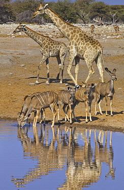 Angolan Giraffe (Giraffa giraffa angolensis) group with Greater Kudus (Tragelaphus strepsiceros) at waterhole in dry season, Etosha National Park, Namibia