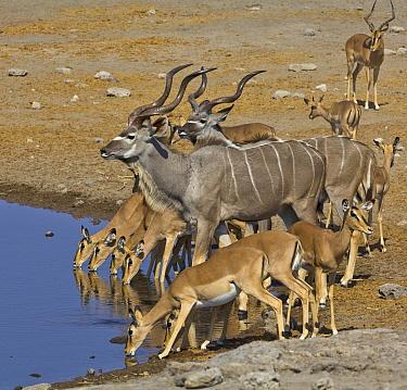 Greater Kudu (Tragelaphus strepsiceros) males and Impala (Aepyceros melampus) group at waterhole in dry season, Etosha National Park, Namibia
