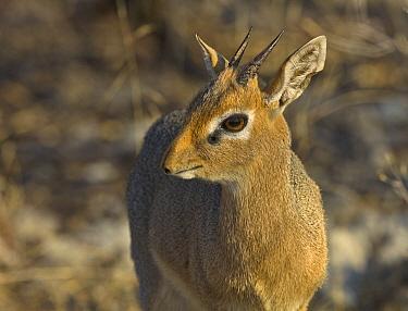 Kirk's Dik-dik (Madoqua kirkii), Etosha National Park, Namibia