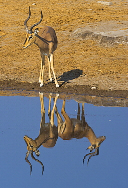 Impala (Aepyceros melampus) male at waterhole, with reflection of another male creating an optical illusion, Etosha National Park, Namibia