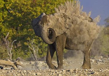 African Elephant (Loxodonta africana) dust bathing, Etosha National Park, Namibia