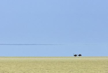Ostrich (Struthio camelus) pair in salt pan, Etosha Pan, Etosha National Park, Namibia