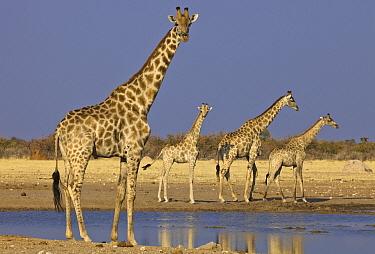 Angolan Giraffe (Giraffa giraffa angolensis) males of different ages at waterhole in dry season, Etosha National Park, Namibia