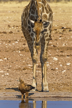 Angolan Giraffe (Giraffa giraffa angolensis) watching Steppe Eagle (Aquila nipalensis) at waterhole in dry season, Etosha National Park, Namibia