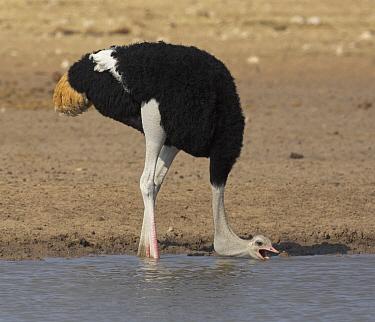 Ostrich (Struthio camelus) male drinking at waterhole in dry season, Etosha National Park, Namibia