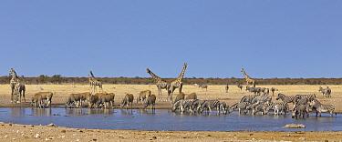Angolan Giraffe (Giraffa giraffa angolensis) group, Common Elands (Tragelaphus oryx), Zebras (Equus quagga), and Hartmann's Mountain Zebras (Equus zebra hartmannae) at waterhole in dry season, Etosha...